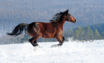 Horse galloping in snow